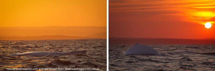 White whale during sunset