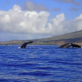 Maui Humpback Whale Tails