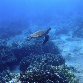 Turtle Snorkel Tours in Maui