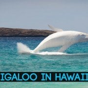 migaloo in hawaii