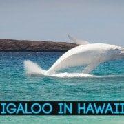 migaloo in hawaii