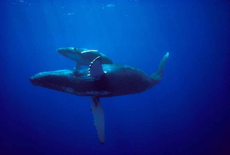 Humpback whale mother and calf on Hawaii breeding grounds