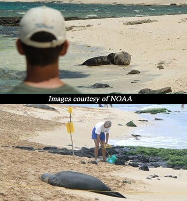 Hawaiian Monk Seals on the beach