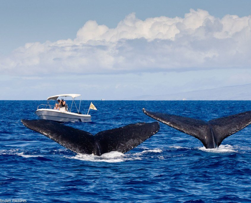 Whale Trust Maui researchers take photos of humpback whales