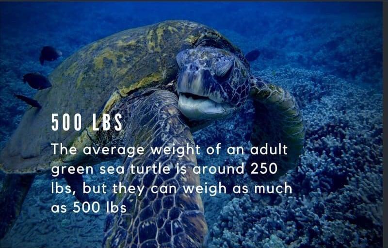 Sea Turtles Ibs