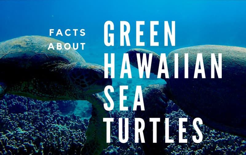 sea turtles fact about