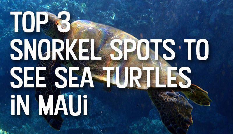sea turtles topsnorkel