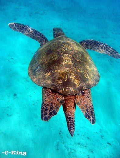 hawaii green sea turtles