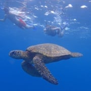 best turtle snorkeling in maui