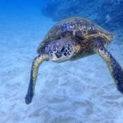 Turtle On Sea Floor Makena