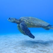 best maui turtle tours