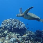 swim with sea turtles maui