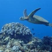 Swim With Sea Turtles Maui