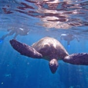 turtle snorkeling tours maui