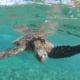 sea turtle at surface