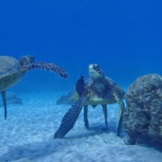 turtle sighting tours maui