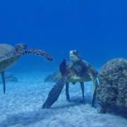 Turtle Sighting Tours Maui