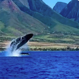 Best Whale Watching in Hawaii