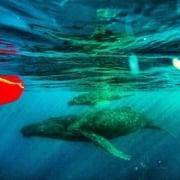 whale kayak underwater